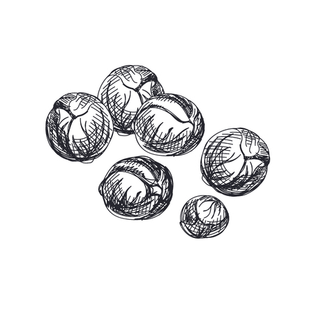 Beautiful vector hand drawn vegetables Illustration. Detailed retro style Brussels sprouts image. Vintage sketch element for labels, packaging and cards design.