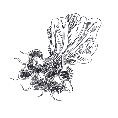 Beautiful vector hand drawn vegetables Illustration. Detailed retro style radish image. Vintage sketch element for labels, packaging and cards design.