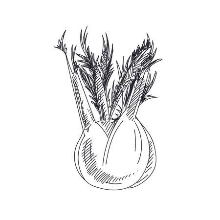 Beautiful vector hand drawn vegetables illustration. Detailed retro style fennel image. Vintage sketch element for labels, packaging and cards design.
