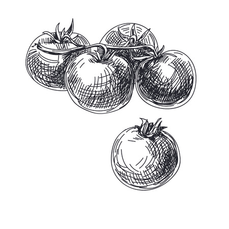 Beautiful vector hand drawn vegetables illustration. Detailed retro style tomatoes image. Vintage sketch element for labels, packaging and cards design. Illustration