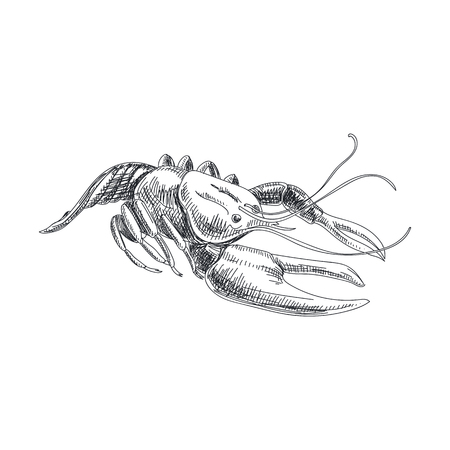 Beautiful vector hand drawn seafood Illustration. Detailed retro style lobster image. Vintage sketch element for labels, packaging and cards design.