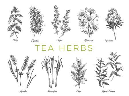 Prachtige vector hand getrokken thee kruiden illustraties. Gedetailleerde afbeeldingen in retrostijl. Vintage schetselementen voor etiketten, verpakkingen en kaartenontwerp. Moderne achtergrond.