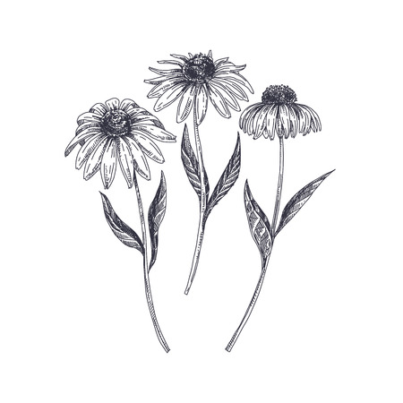 Beautiful vector hand drawn Echinacea  Illustration. Detailed retro style image. Vintage sketch element for labels, packaging and cards design. Modern background. Ilustrace