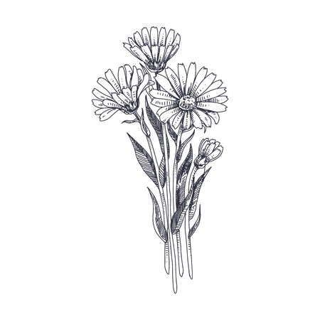 Beautiful vector hand drawn Calendula medical herb Illustration. Detailed retro style image. Vintage sketch element for labels, packaging and cards design. Modern background.
