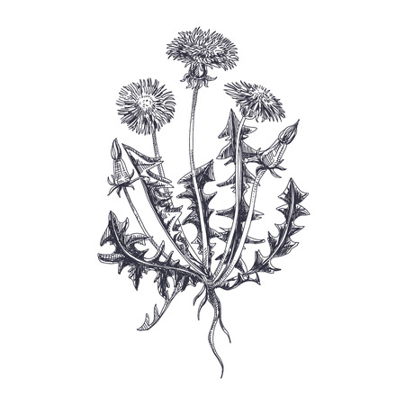 Beautiful vector hand drawn Dandelion Illustration. Detailed retro style image. Vintage sketch element for labels, packaging and cards design. Modern background. Фото со стока - 114956911
