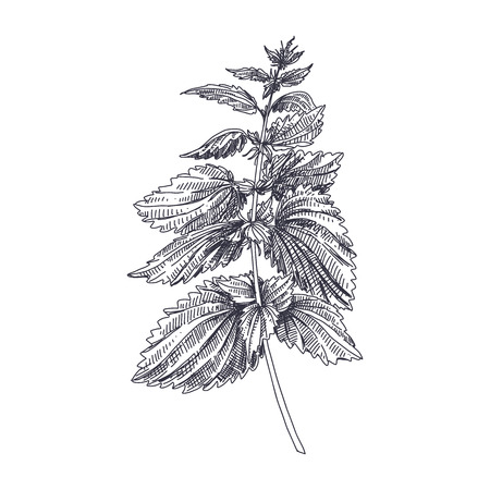 Beautiful vector hand drawn Nettles medical  herb Illustration. Detailed retro style image. Vintage sketch element for labels, packaging and cards design. Modern background.