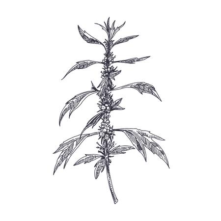 Beautiful vector hand drawn Motherwort medical herb Illustration. Detailed retro style image. Vintage sketch element for labels, packaging and cards design. Modern background.