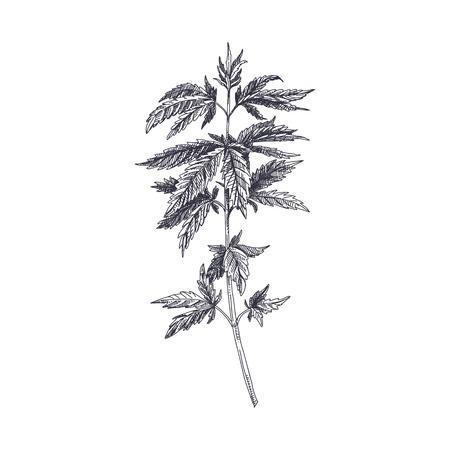 Hermoso vector dibujado a mano ilustración de cannabis. Imagen detallada de estilo retro. Elemento de dibujo vintage para diseño de etiquetas, envases y tarjetas. Fondo moderno.