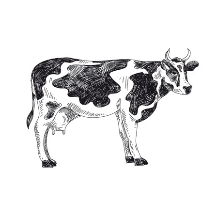 Beautiful vector hand drawn dairy Illustration. Detailed retro style cow image. Vintage sketch element for labels, packaging and cards design. Modern background. Standard-Bild - 126449556