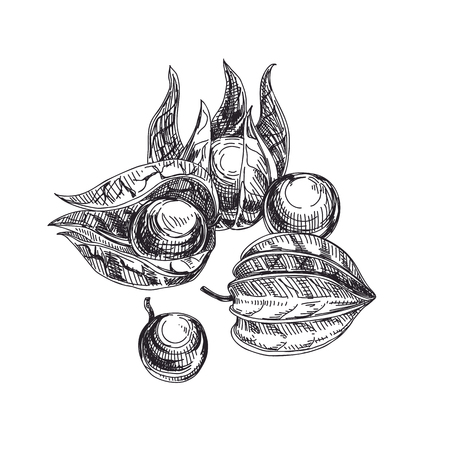 Beautiful vector hand drawn exotic fruit Illustrations. Detailed retro style physalis image. Vintage sketch for labels. Elements collection for design.
