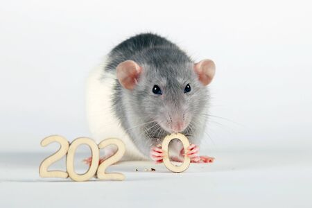 Happy New Year! The symbol of the new 2020 is a rat. Fluffy white (silver) rat, holding in its paws and gnaws the wooden figure (number) zero.
