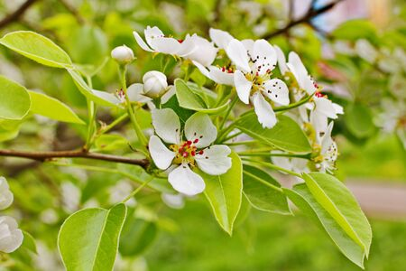 amazingly beautiful many tree branches white flowers, Apple buds garden spring nature open flower seed-bearing part of the plant, stamens, pedicels, surrounded by a brightly colored Corolla, petals Фото со стока