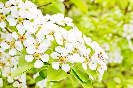 amazingly beautiful many tree branches white flowers, Apple buds garden spring nature open flower seed-bearing part of the plant, stamens, pedicels, surrounded by a brightly colored Corolla, petals