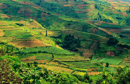 Endless tea plantations in the hills of Java, a beautiful view of hard human labor Stock Photo