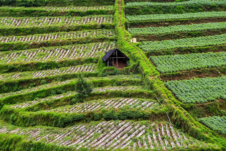 Travel to java, agriculture terrace in java hills, small barn in the midst of green terraces, big java hills