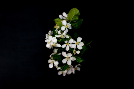 White apple blossom flowers isolated on a black background shallow depth of field low key, selective focus Фото со стока