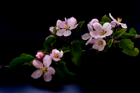 Apple blossom flowers isolated on a black background shallow depth of field low key, selective focus