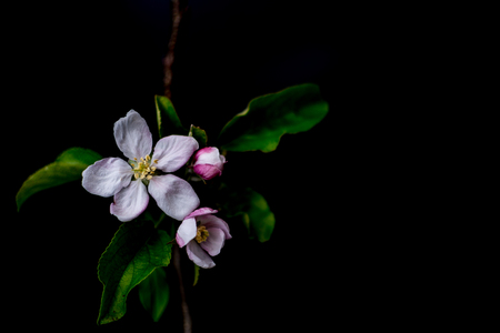 Apple blossom flowers close up isolated on a black background shallow depth of field low key, selective focus