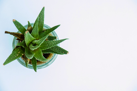 Green Aloe Succulent Plant Top View on white background.
