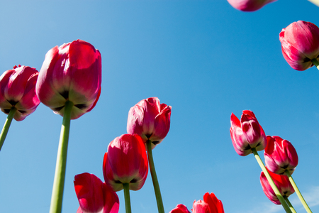 red tulips directed to the blue sky. Фото со стока