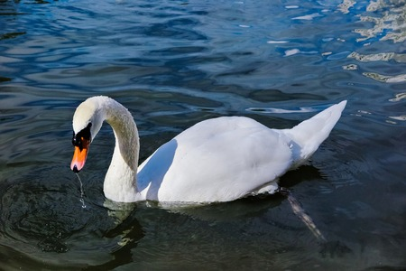 beautiful white Swan swimming in the pond.