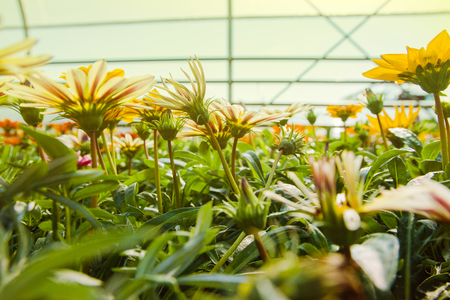 Many orange flowers in the greenhouse. The production and cultivation of flowers. Huge plantation of Gazania.
