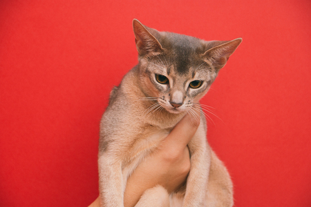 Abyssinian kitten short-haired on hands on a red background.