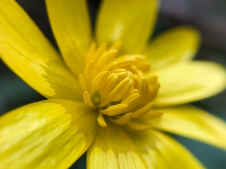 first spring yellow flowers macro photography, selective focus, mobile photography. 写真素材 - 122120653