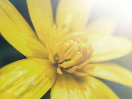 first spring yellow flowers macro photography, selective focus, mobile photography. 写真素材