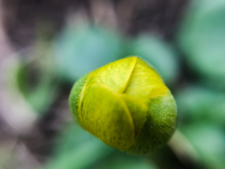 first spring yellow flowers Bud macro photography, selective focus, mobile photography. 写真素材