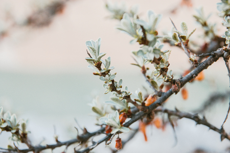 sea buckthorn tree leaves and berries on the tree have faded.