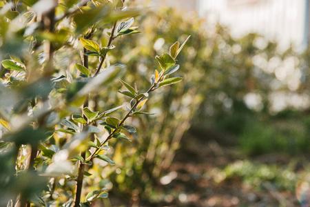 green hedge in sunlight, selective focus background. 写真素材 - 122119920