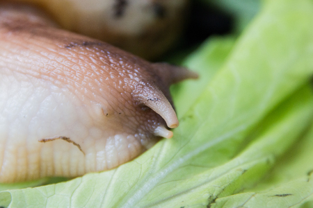 A large brown snail Ahatina, green leaf lettuce on the background. 写真素材 - 122119948