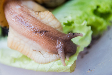 A large brown snail Ahatina, green leaf lettuce on the background. 写真素材 - 122119951