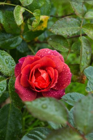 beautiful red rose in the garden with rain drops, selective focus. Standard-Bild - 129186422