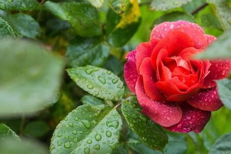 beautiful red rose in the garden with rain drops, selective focus. Standard-Bild - 129186321