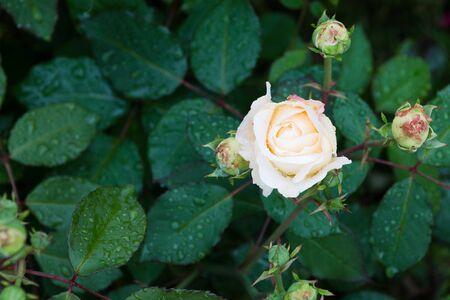 beautiful white rose in the garden with rain drops, selective focus. Standard-Bild - 129186330