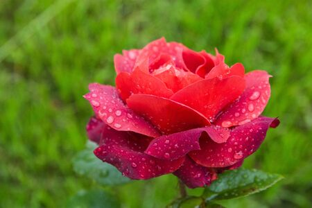 beautiful red rose in the garden with rain drops. Standard-Bild - 129186346