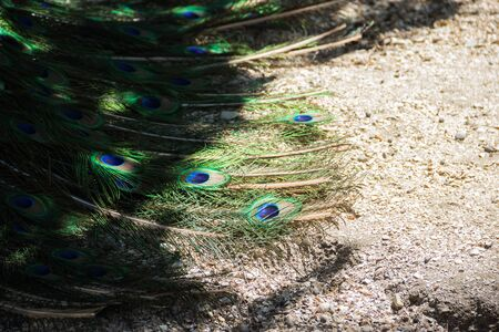 the beautiful peacock tail, Peacock feathers have been a subject of trade since ancient times. Фото со стока