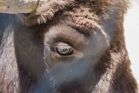 bison, the last representative of a wild bull living in a zoo, eye close-up.
