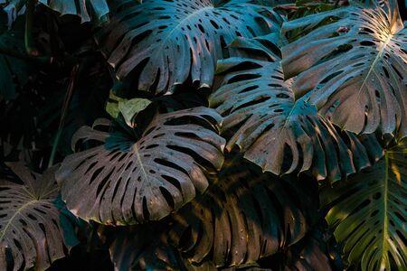 tropicale foglie di palma sfondo verde scuro, piante coltivate nel giardino botanico.