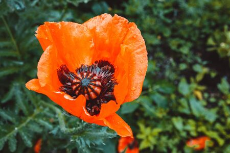 A blooming poppy flower on a background of green grass, a blooming red poppy in the garden. Selective focus. 版權商用圖片