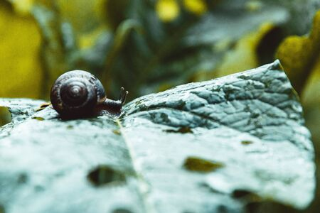 Small snail on the wet leaf. Selective focus. 版權商用圖片