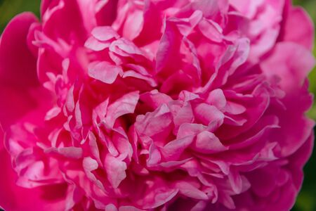 Close up pink peony in the garden. Blooming pink peony. Close-up of a beautiful pink peony flower. layout of a floral greeting card. happy mother's Day concept. pink flowers, flower image.