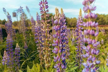 Spring flower, blooming Lupin flowers. Lupin weed field. Sunlight illuminates the plants. Purple spring and summer flowers. Gentle warm soft color.