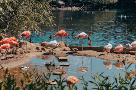 Pink flamingos and ducks live in a reservoir in the city zoo. Moscow, Russia, July 2020.