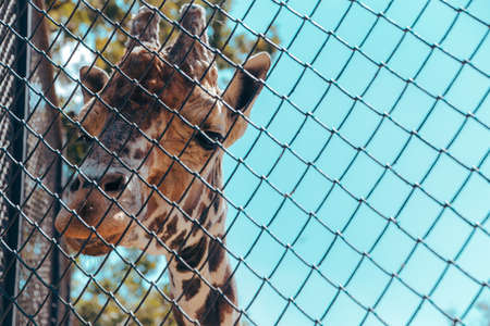 Close-up of a giraffe's head behind bars in the city zoo. Moscow, Russia, July 2020.