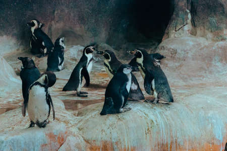A small flock of penguins in an enclosure in the city zoo. Moscow, Russia, July 2020.