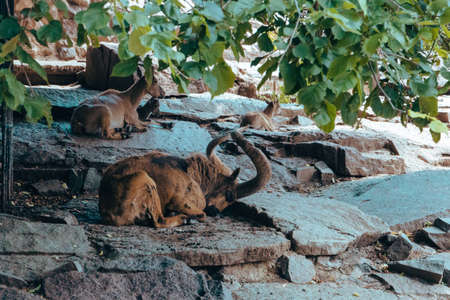 A family of mountain goats resting in the shade in the city zoo. Moscow, Russia, July 2020.