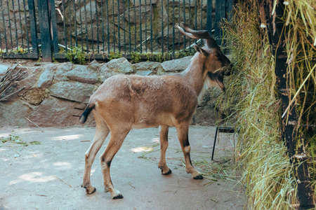 A young mountain goat in an enclosure nibbling grass from a stack in the city zoo. Moscow, Russia, July 2020.